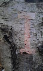 i-cut-into-silver-birch