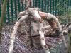 silver-birch-spider